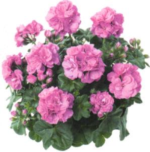 Atout fleurs michel ledoux g raniums - Geranium lierre double ...